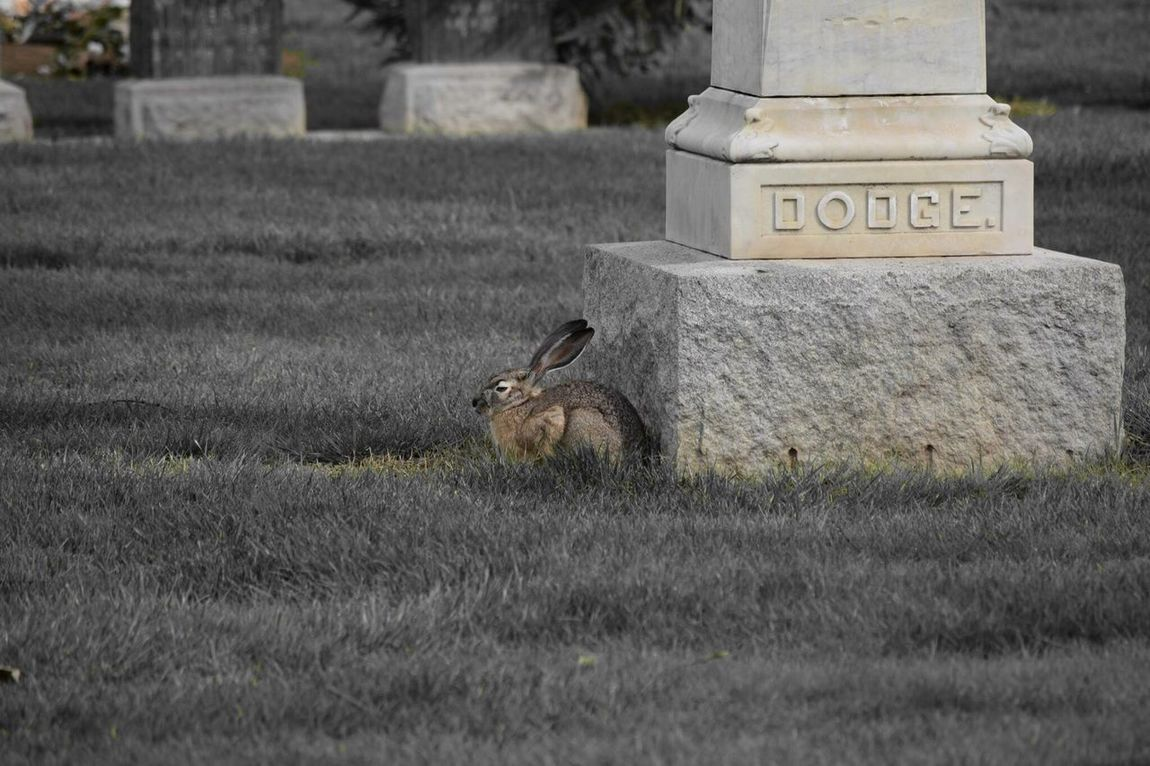 Went to see the local cemetery, was surprised by this rabbit. Rabbit Cemetery Davis