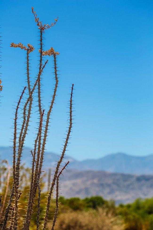 So many interesting cacti in the Palm Desert, CA. Desert JGLowe Deserts Around The World Desert Beauty Plantlife Desert Life Geologyporn Cactus Garden Hand Of God Cactusporn Plant Budding Flower Cactus Flower Garden Photography Flowers