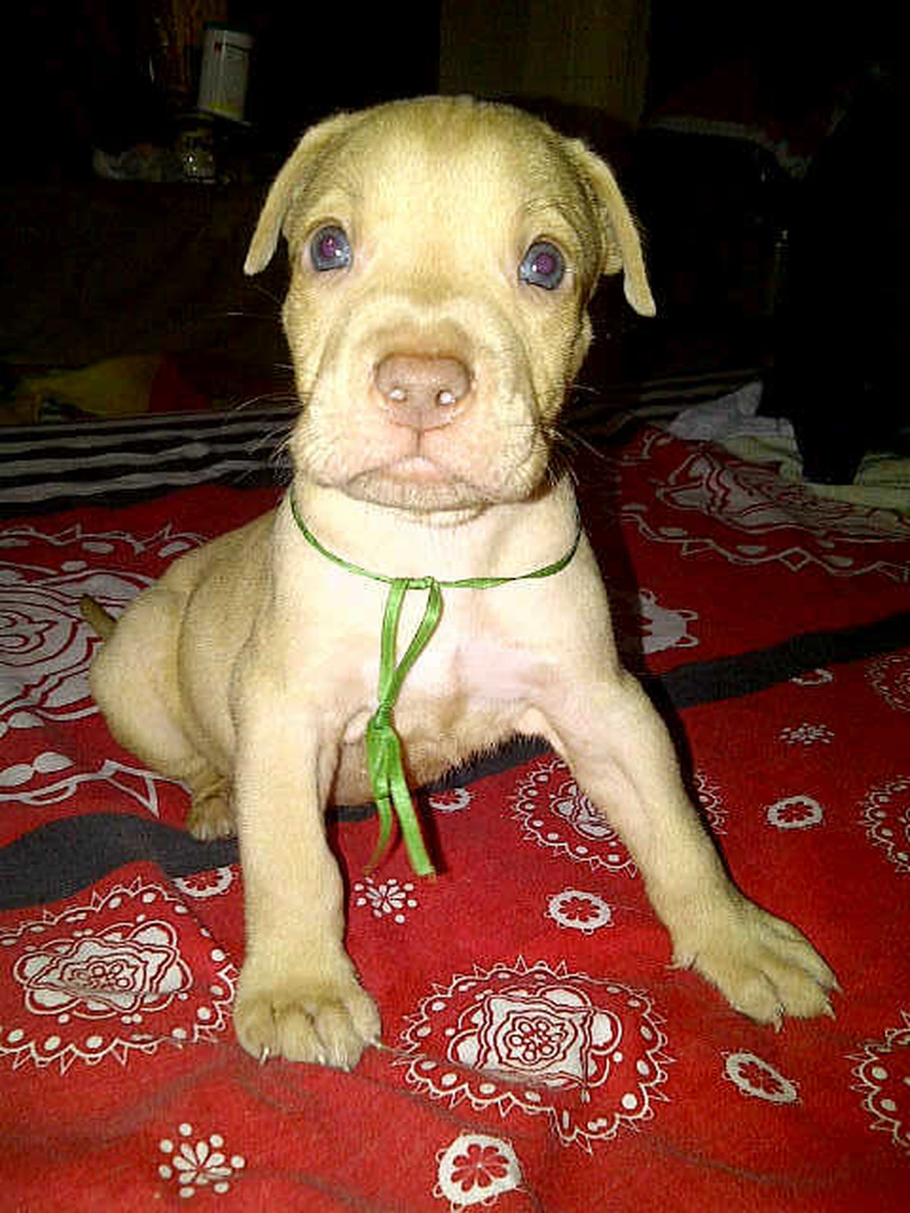Ready for booked, pitbull puppies 7 week. Hub 021-44414141 atau pin 234148a0. Dog Lover's In Jakarta, Indonesia