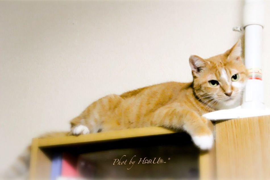 ウチの姫様 My Cat 茶トラ猫 Animal Playing With The Animals Eyeem Best Shots - Animals Cat Cat♡ 猫 Photography
