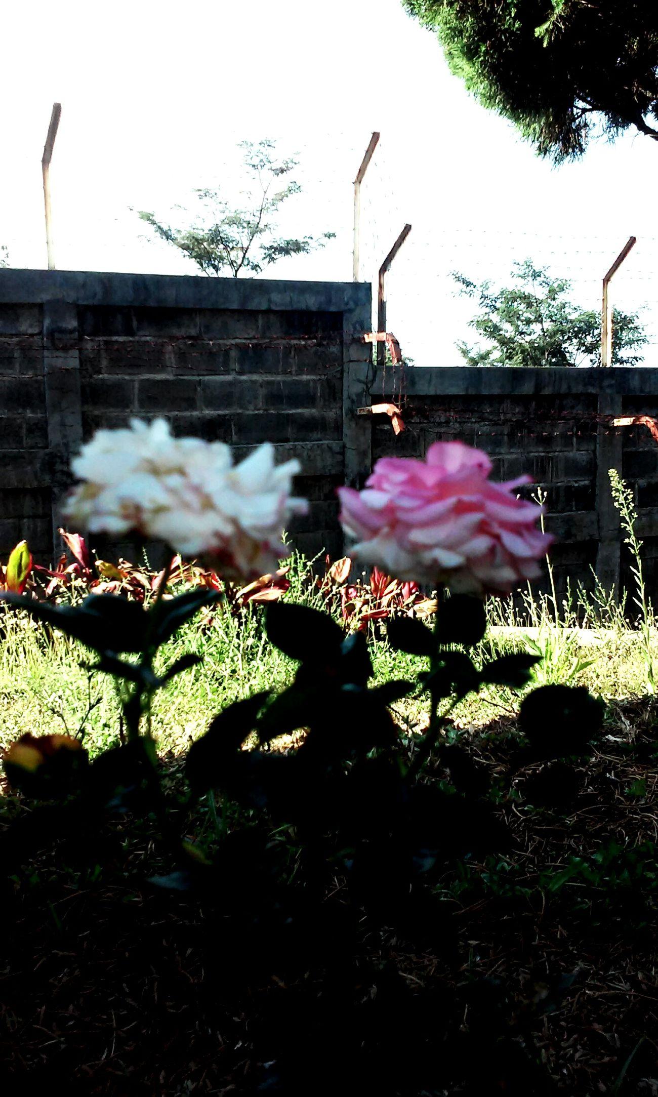 Old Rose Taking Photos