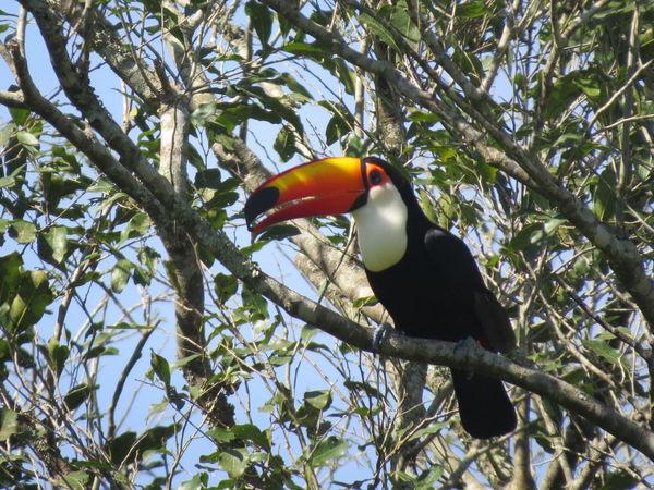 Animal Themes Animals In The Wild Argentina Avian Beauty In Nature Bird Branch Close-up Iguazu Iguazu Falls Iguazu National Park Nature At Its Best Nature Up Close One Animal Parrot Perching Toucan Wildlife