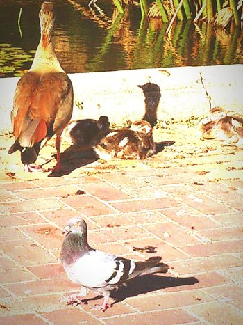 The Ugly Duckling Bird Animal Themes Outdoors Friendship Nature