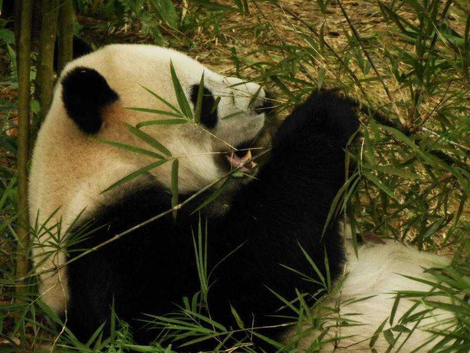 Animal Themes Bamboo Close-up Hungry Mammal One Animal Panda Animal Panda Bear Relax Singapore Zoological Garden