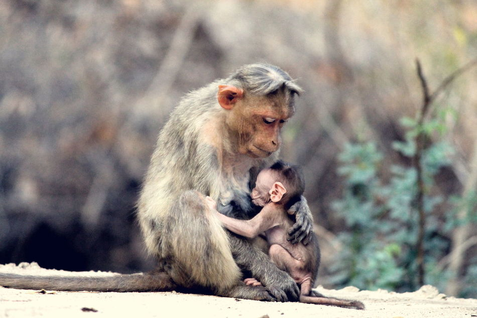 Animal Themes Animals In The Wild Focus On Foreground Gokak Mammal Monkey Mother Love ♥ Mother Nature Nature Newborn Outdoors Primate Showcase April Togetherness Two Animals Wildlife Yogikolla Young Animal