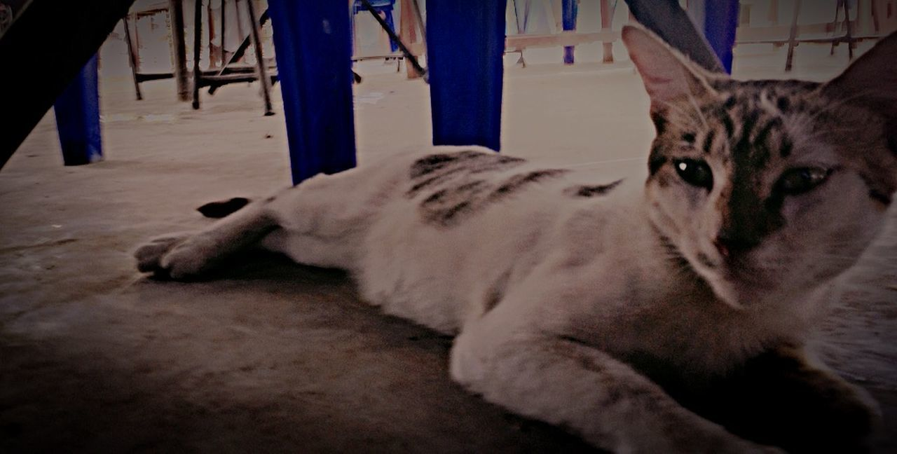 animal themes, one animal, mammal, pets, domestic animals, dog, lying down, feline, no people, indoors, day, close-up