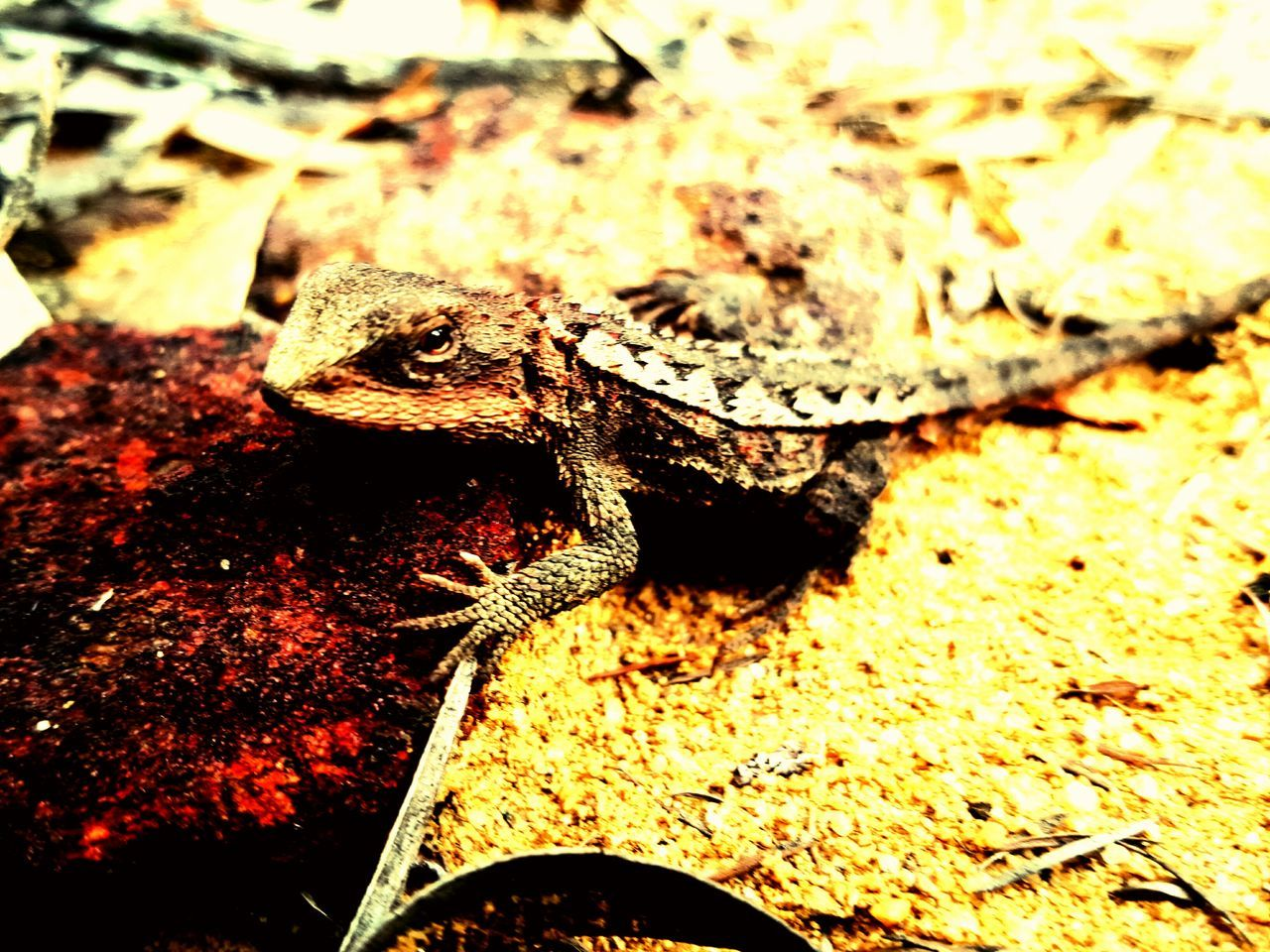 animals in the wild, animal themes, one animal, reptile, animal wildlife, no people, close-up, bearded dragon, outdoors, nature, day
