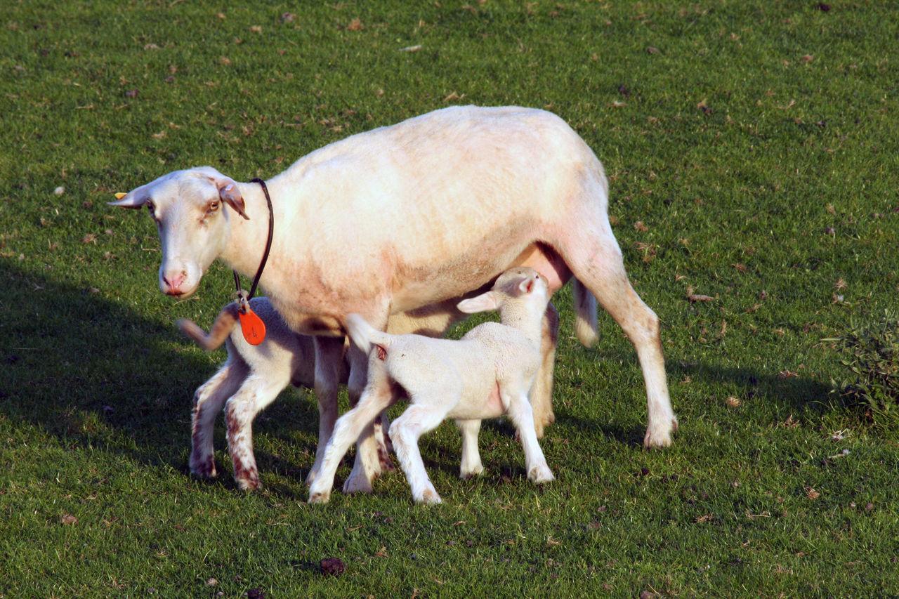 Animal Animal Themes Day Dog Domestic Animals Drinking Eating Feeding  Grass Lamb Lambs Lambs And Sheep Mammal Mother And Baby Mothernature Nature No People Outdoors Sheep