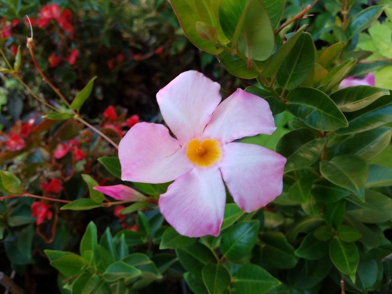 petal, flower, fragility, beauty in nature, growth, flower head, nature, blooming, freshness, leaf, plant, day, green color, no people, close-up, outdoors, periwinkle
