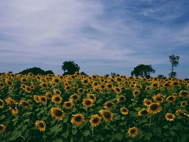 Flower Growth Nature Sky Beauty In Nature Plant Cloud - Sky Field Botany Outdoors Flower Head Petal Day Fragility No People Tranquility Black-eyed Susan Freshness Sunflower Scenics