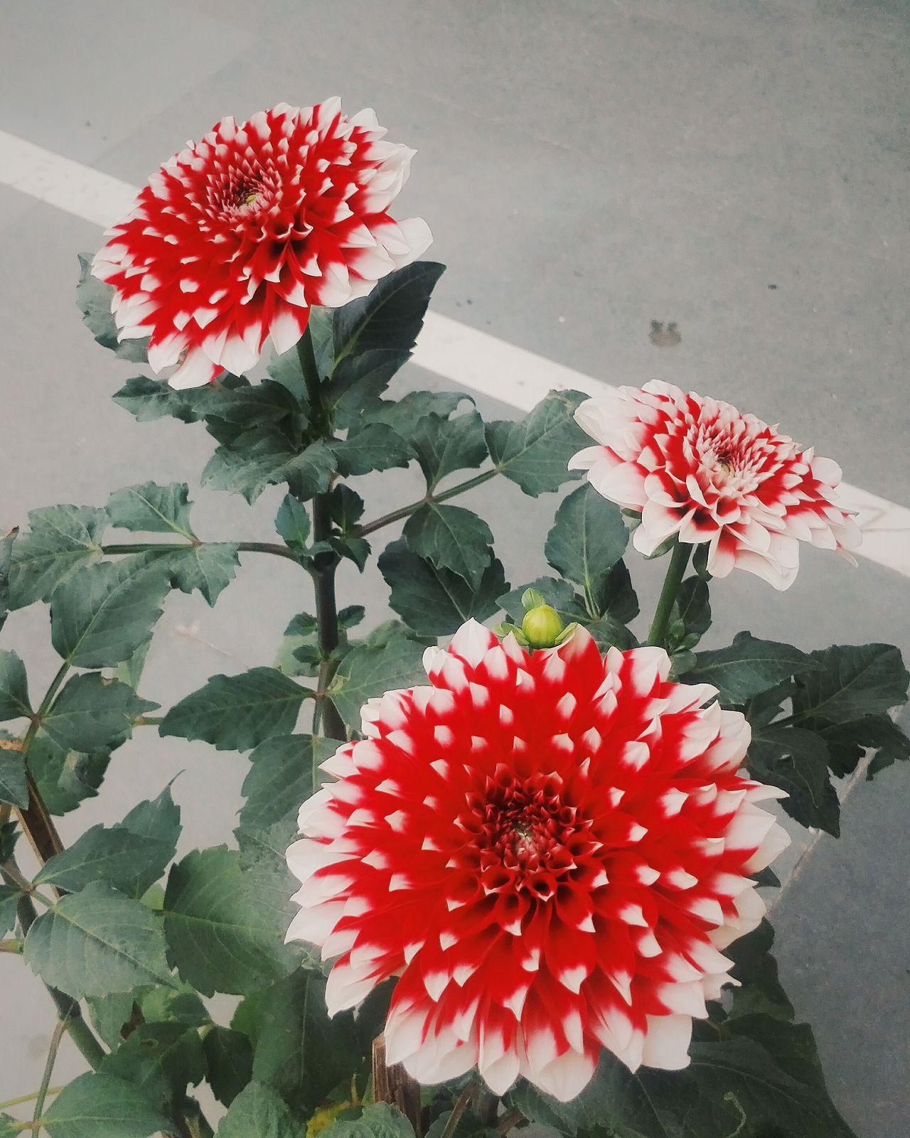 Honor 7 click! First Eyeem Photo Flower Red Flower Morning Light Randomclick Littleedit Honor7 Beauty In Nature Beautiful Day