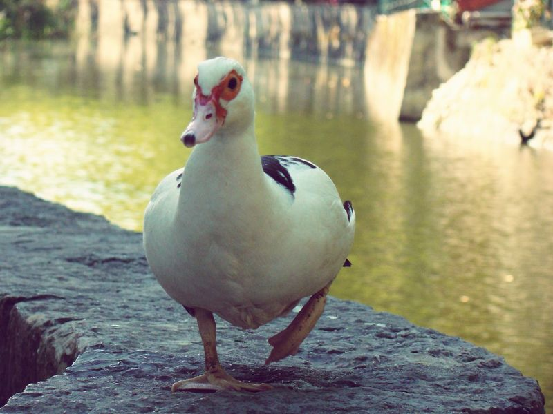 Duck Natute_collection Cute Duck Walk Animal_collection