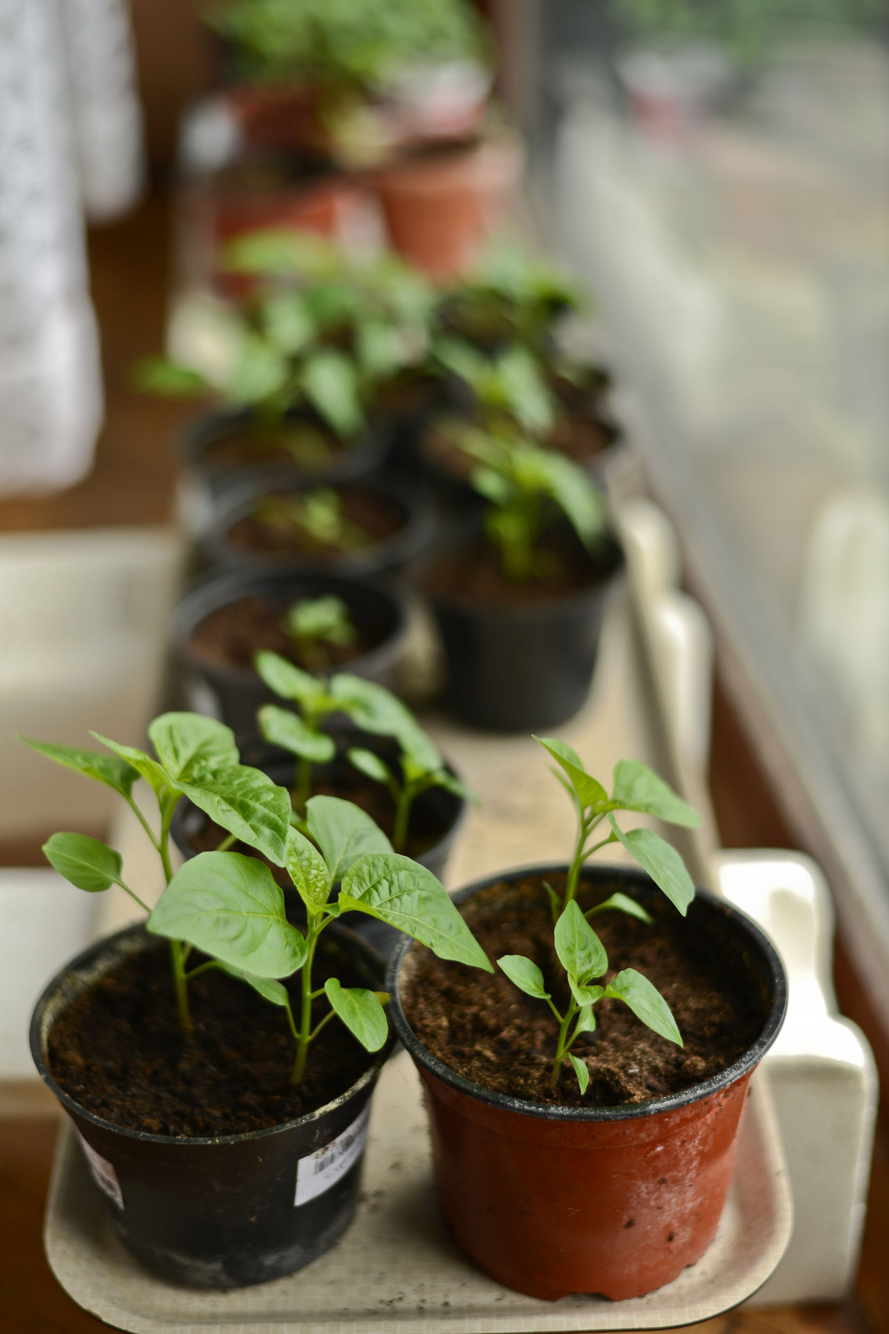 Agriculture Chilli Chilli Plant Chilli Plants Chilli Sapling Chilli Saplings Close-up Farming Farming Vegetables Focus On Foreground Freshness Green Growth Growth Hot Peppers Hot Peppers Plants Nature Pepper Plant Pepper Sapling Plant Plant Plants Sapling Saplings Selective Focus