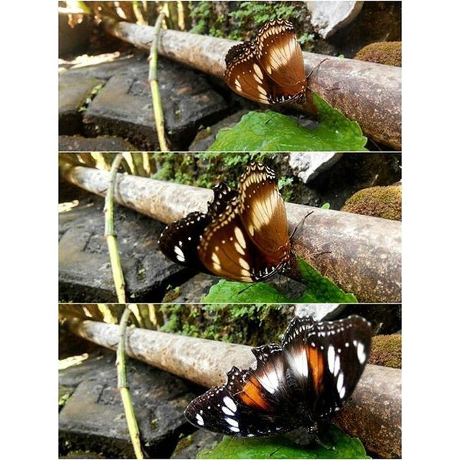 Morning Buterfly Nature Beauty Fatamorphosis Lenovotography Photooftheday Photostory Lzybstrd Kupukupu Keindahanalam