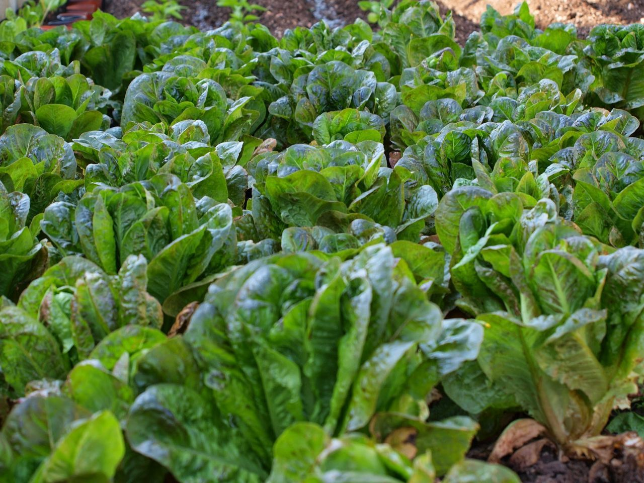 Vegetable Growth Green Color Freshness Agriculture Food And Drink Healthy Eating Field Food Plant Abundance Nature Day Outdoors No People Raw Food Full Frame Close-up Leaf Beauty In Nature Lechuga