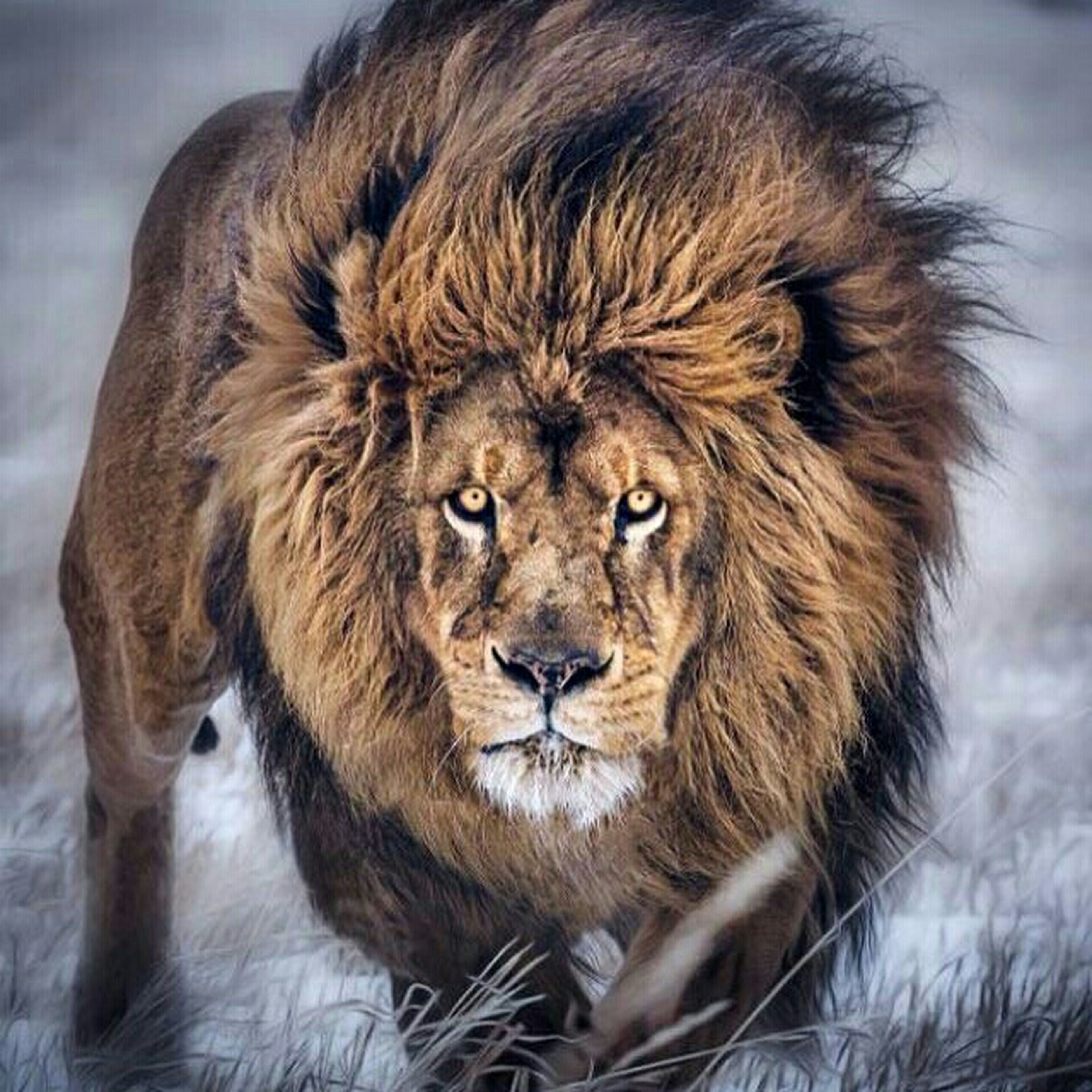 animal themes, one animal, mammal, wildlife, portrait, animals in the wild, animal head, looking at camera, animal hair, close-up, animal body part, focus on foreground, lion - feline, zoology, front view, no people, outdoors, domestic animals, day