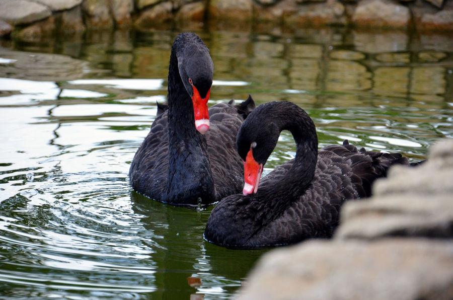 The Following Beauty In Nature Black Swan BlackSwan Bukit Tinggi EyeEm Animal Lover Eyem Best Shots Nature_collection Lake Lakeview Swans ❤ Wildlife Swans On The Lake