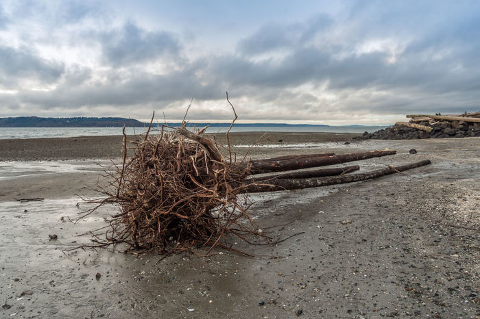 Uprooted tree on Pacific Northwest shoreline. Pacific Northwest  Tree Beach Beauty In Nature Cloud - Sky Day Horizon Over Water Nature No People Outdoors Sand Scenics Sea Sky Tranquility Uprooted Water