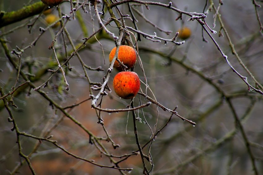 Baked Apple Tree Apple Tree Autumn Autumn Colors Beauty In Nature Branch Close-up Cold Days Cold Temperature Day Enjoying Life Fall Focus On Foreground Food Freshness Frozen Fruit Hello World Nature Nature On Your Doorstep No People Outdoors Taking Photos Tree Winter