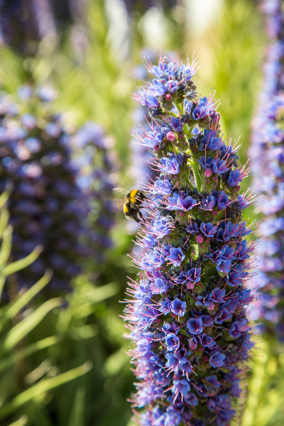 Beauty In Nature Bee Blue Close-up Echium Candicans Flowers Fragility Freshness Of Flower Growth Process Insect Lavender Madeira Island Massaroco Massaroco Endemic Plant Nature No People Outdoors Plant Purple Purple Flower