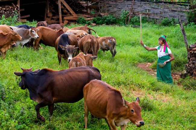 Colour Of Life Hello World Work Enjoying Life Beauty In Nature Goldenland Myanmar Travelphotography Myfavoritephoto Feel The Journey Shanstate Greeworld Woman At Work Cows!!! Control Womaninlove Womaninmyanmar Long Neck Woman Long Neck Village Long Neck Karen  Karen State Lifestyle Photography Pxyomgmgphotography