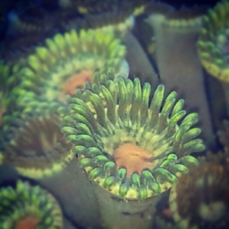Plant Polyp Zoa Reef saltwater reeftank indonesia coral instahub instagram instag