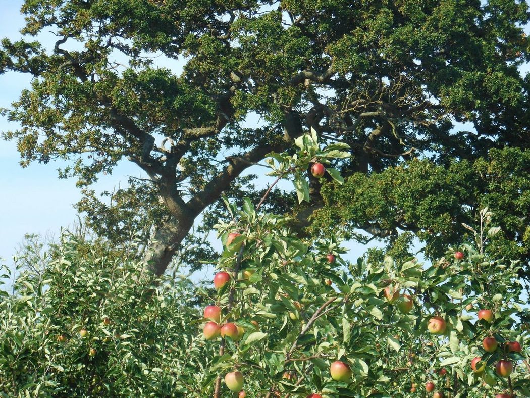 Apple Orchard Apples Orchard Cider Orchard Old Railway Line Strawberry Line Somerset Walking Countryside
