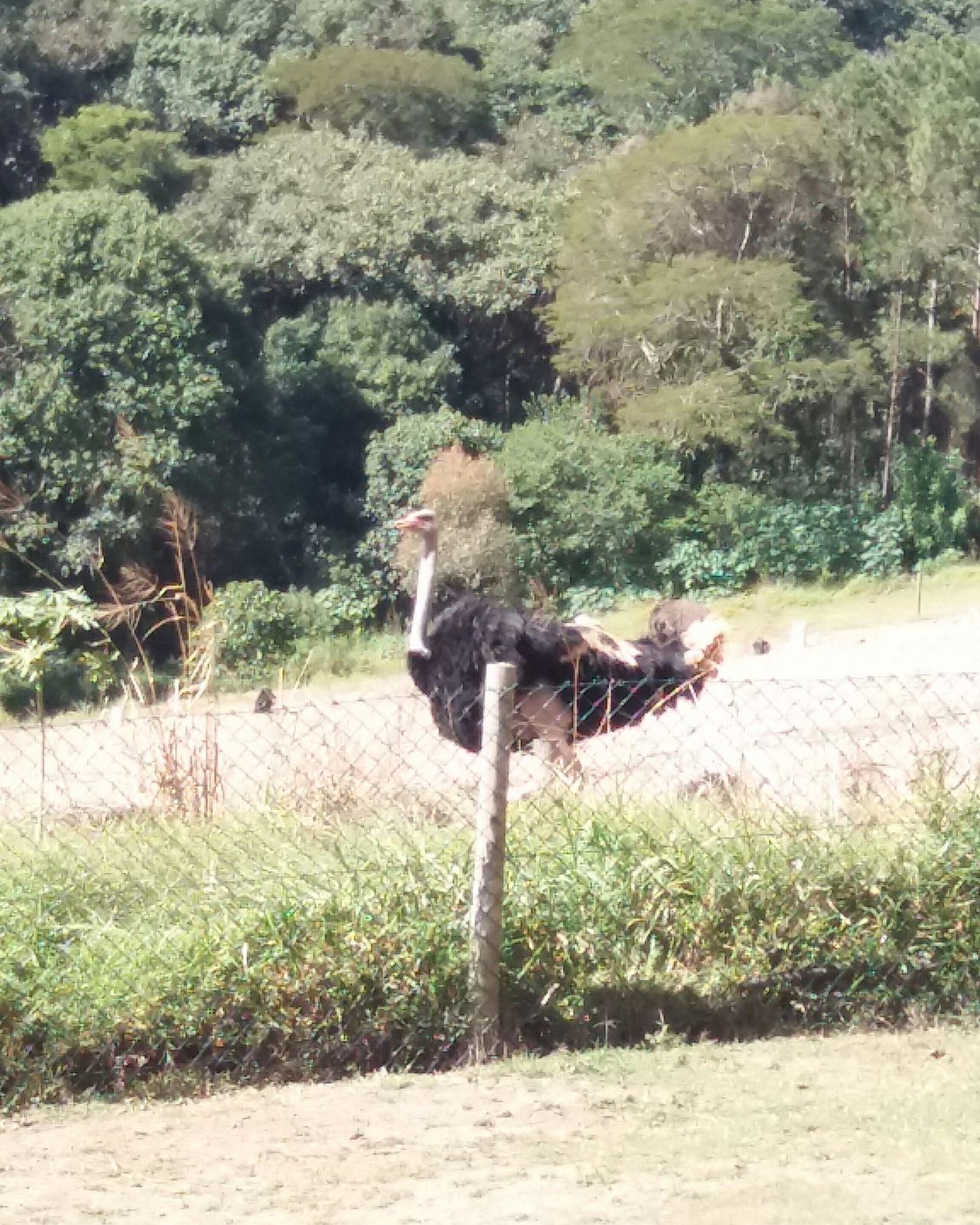 EyeEm New Here Ostrich Camel-bird Avestruz Animal Themes Beauty In Nature Zoo Outdoors Wild No People EyeEmNewHere