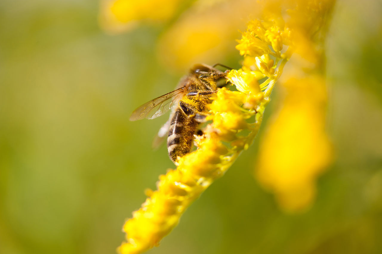 Bee insect on Solidago virgaurea or Goldenrod or Woundwort yellow herb flowers, zoom on honeybee taking nectar in bushy bee plant with rampant inflorescences, zoomed view and horizontal orientation, photo taken in Poland, early autumn season. Autumn Bee Bloom Blooming Blossoming  Close-up Flower Flowering Goldenrod Herb HoneyBee Inflorescence Insect Macro Nature Nectar Perennial Plant Pollen Pollinate Pollination Solidago Solidago Virgaurea Woundwort Yellow