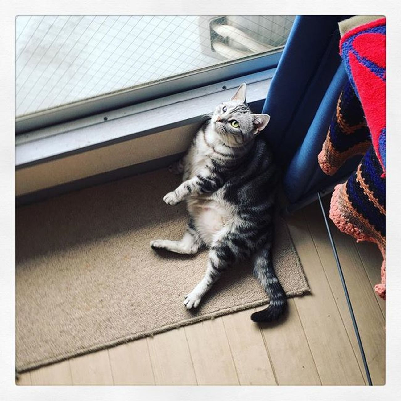 Cat Neko ねこ 猫 ねこ Cats アメリカンショートヘアー アメショ Americanshorthair ズズ ズズ子 Zuzu ズズっぺ シルバータビー そして朝ズズ〜😚😽💕