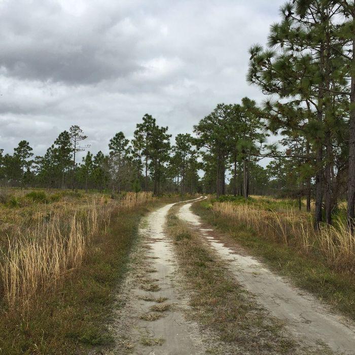 Florida trails Florida Trail Florida Nature Three Lakes WMA Dirt Road Pinetrees Pine Trees Pines