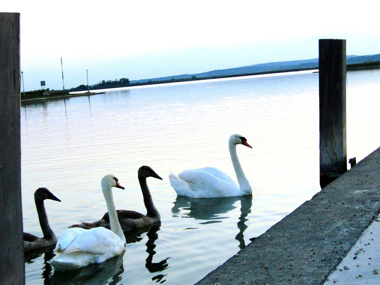 Stage Molo Port Team Ducks Swan Landscapephotography Animalphotography Naturephotography Lakephotography Lake View Evening Sungoesdown NatureIsBeautiful EyeEm Best Shots - Nature Eyeemphotography Eyeemnaturelovers