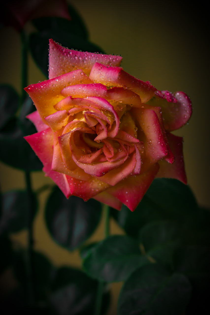 Close-Up Of Water Drops On Rose Blooming Outdoors