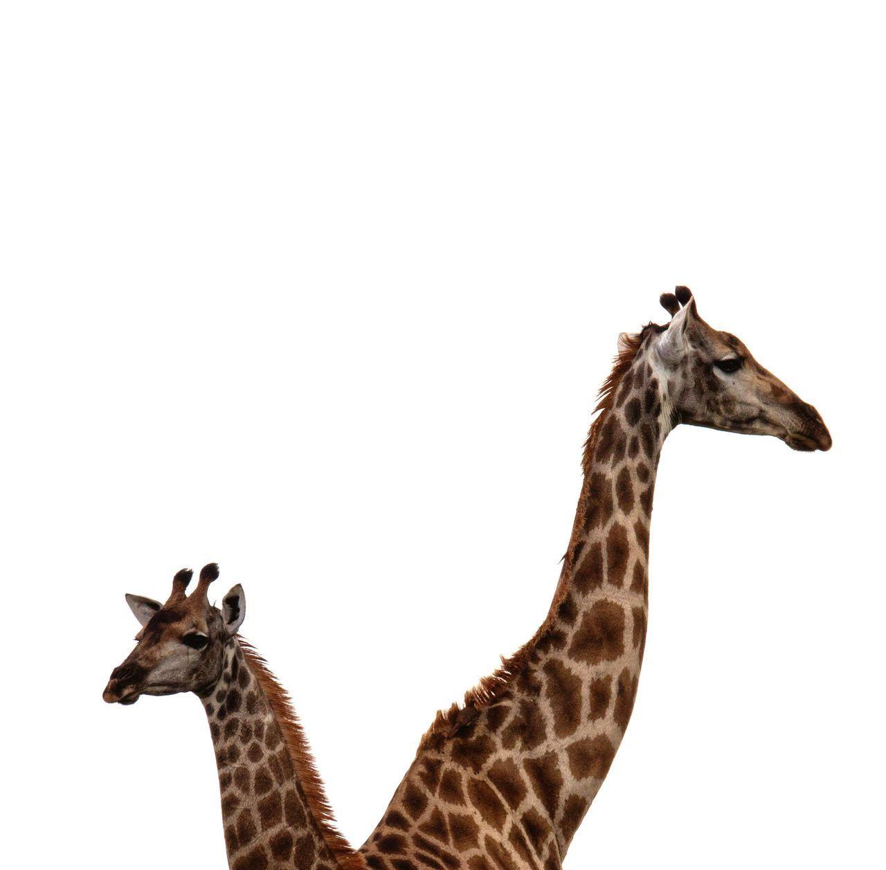 Criss Cross Giraffe Animal Themes Animals In The Wild Giraffe Animal Neck Clear Sky Nature No People Animal Markings Safari Animals Outdoors Kruger Park South Africa Safari Animal Wildlife Cross Counterparts Yingyang Balance Symmetry