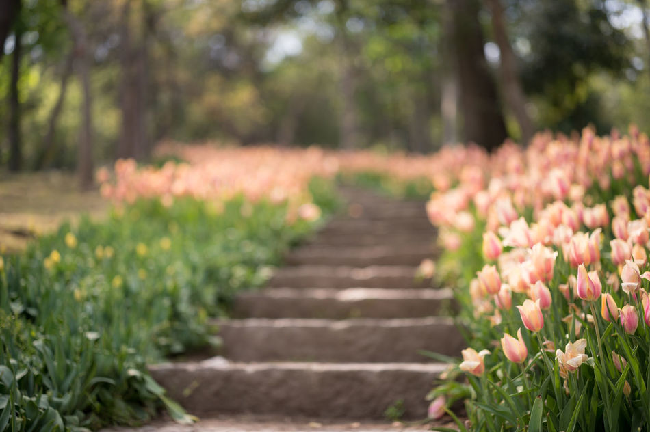 Stairway of Tulips III Beauty In Nature Bloom Blooming Bokeh Field Of Flowers Flower Head Flowers Focus On Foreground Fragility Freshness Growth Nature Nature Photography Nature_collection Outdoors Park - Man Made Space Pink Pink Color Selective Focus Spring Springtime Stairs Stairway Stairways Tulips