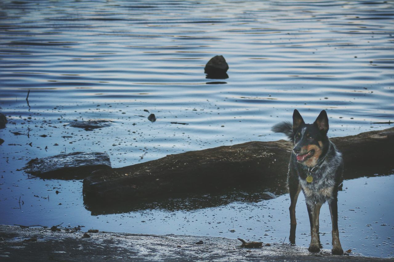 dog, pets, animal themes, domestic animals, one animal, water, mammal, no people, day, outdoors, beach, sand, nature, swimming