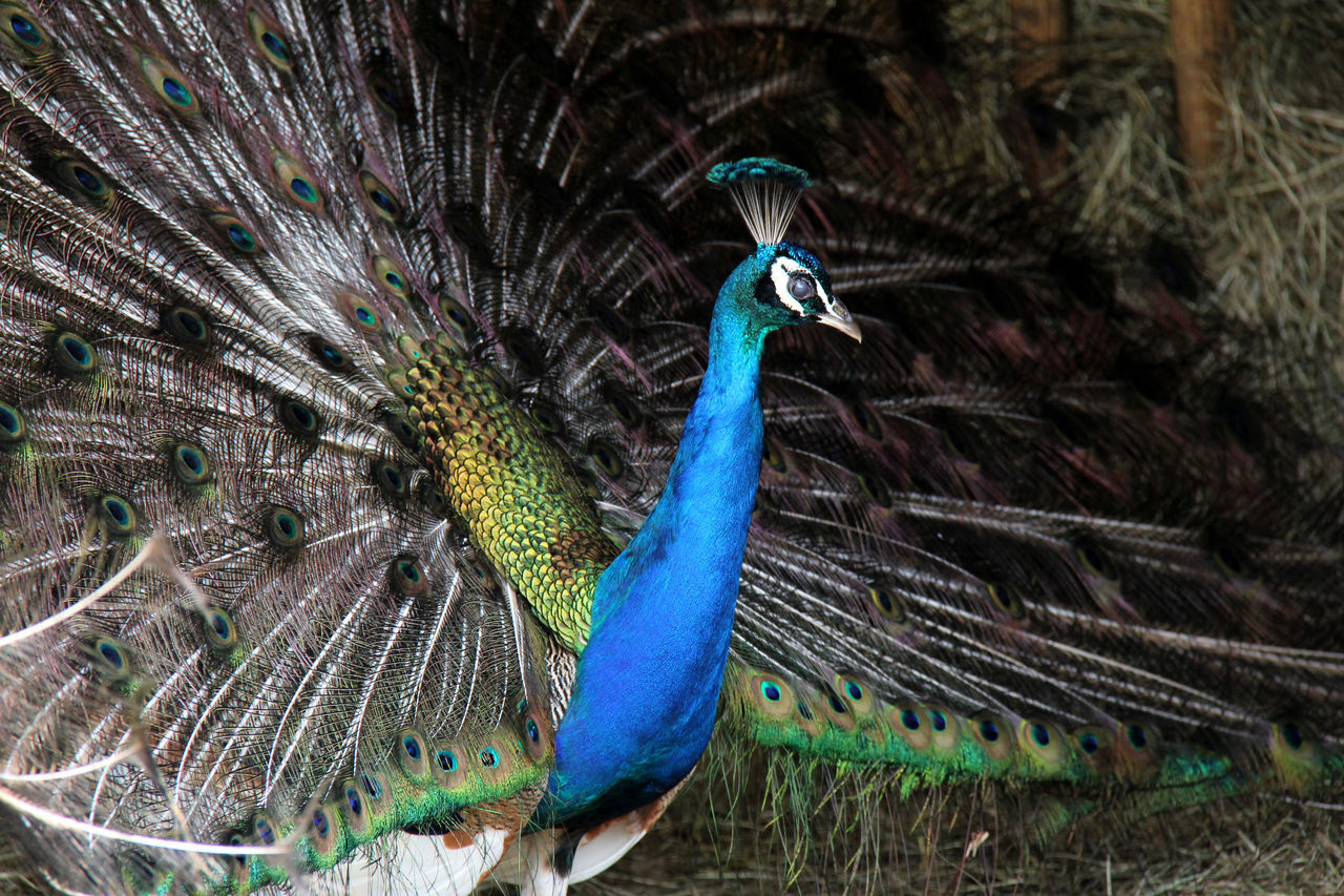 Animal Crest Animal Themes Animal Wildlife Animals In The Wild Beauty In Nature Bird Blue Day Fanned Out Feather  Multi Colored Nature No People One Animal Outdoors Peacock Peacock Feather Pfau RAD Rad Schlagen Vogel Pfau
