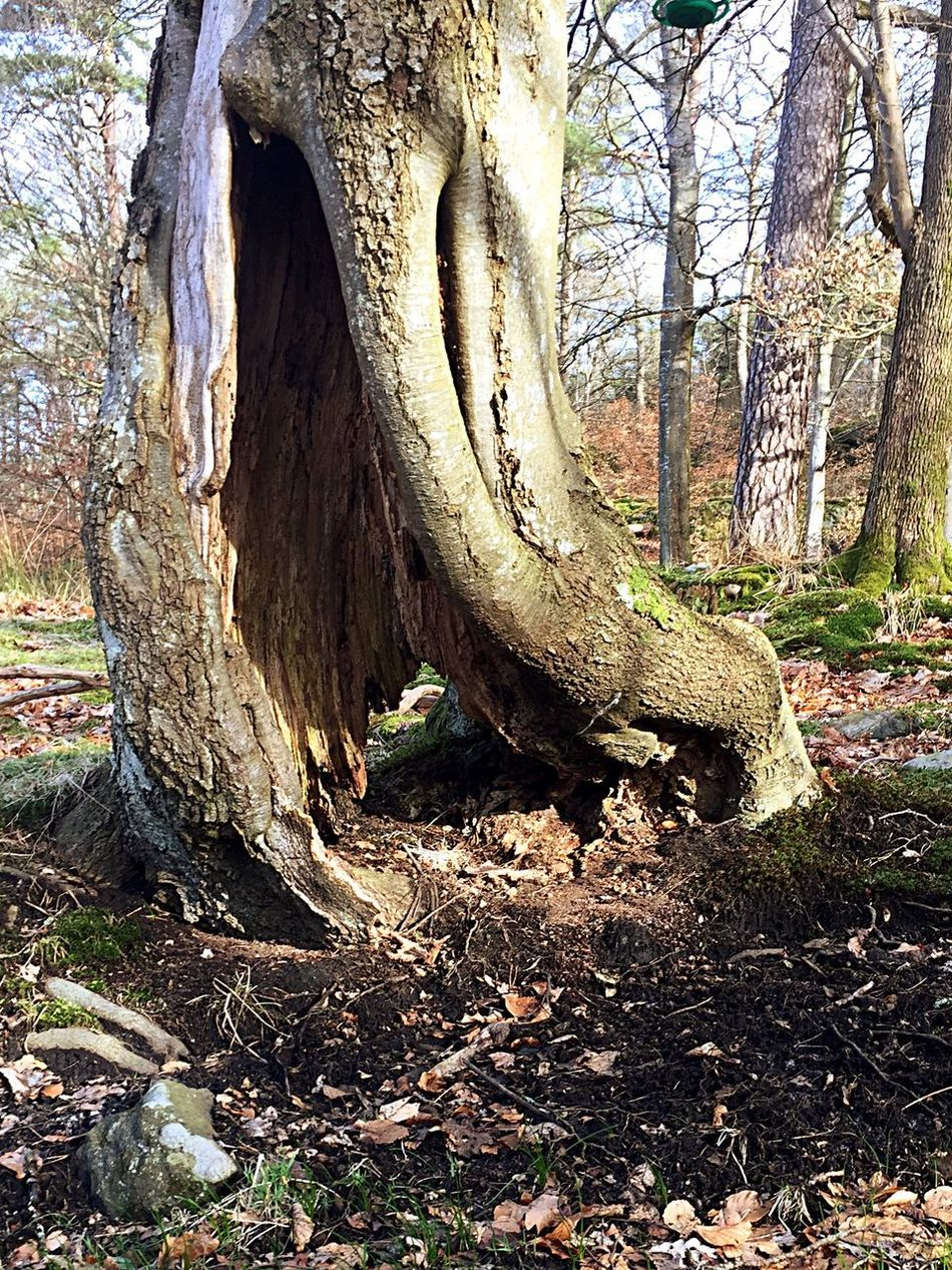 Treeroots Tree Hole In Tree Nature Outdoors Nature Photography IPhoneography Showcase March Iphonephotography Nature Tree Beauty In Nature 2017 Sweden Taking A Walk