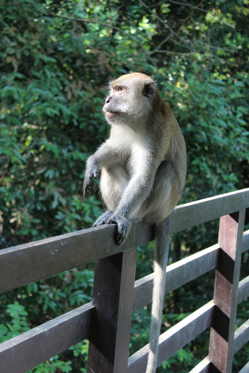 one animal, monkey, animals in the wild, mammal, animal themes, day, animal wildlife, outdoors, no people, nature, tree, full length