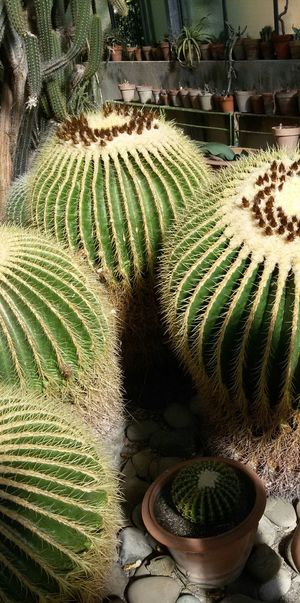 @matflo @matflo Photography Beauty In Nature Botany Cactus Cactus Garden Close-up Day Edited By @wolfzuachis Formal Garden Fragility Frond Green Green Color Growth Matflo Nature No People Outdoors Plant Scenics Thorn Tranquil Scene Tranquility Uploaded By @wolfzuachis