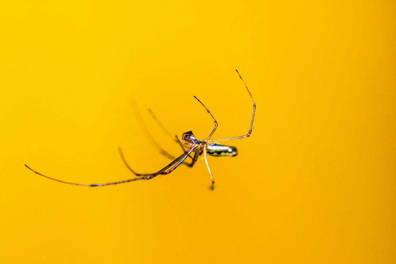 Animal Themes Animal Wildlife Animals In The Wild Background Close-up Day Hintergrund Insect Macro Macro Beauty Macro Insects Macro Nature Macro Photography Macro Spider Macro_collection Makro Nature No People One Animal Outdoors Spider Spinne Spinnennetz Weberknecht Yellow The Great Outdoors - 2017 EyeEm Awards