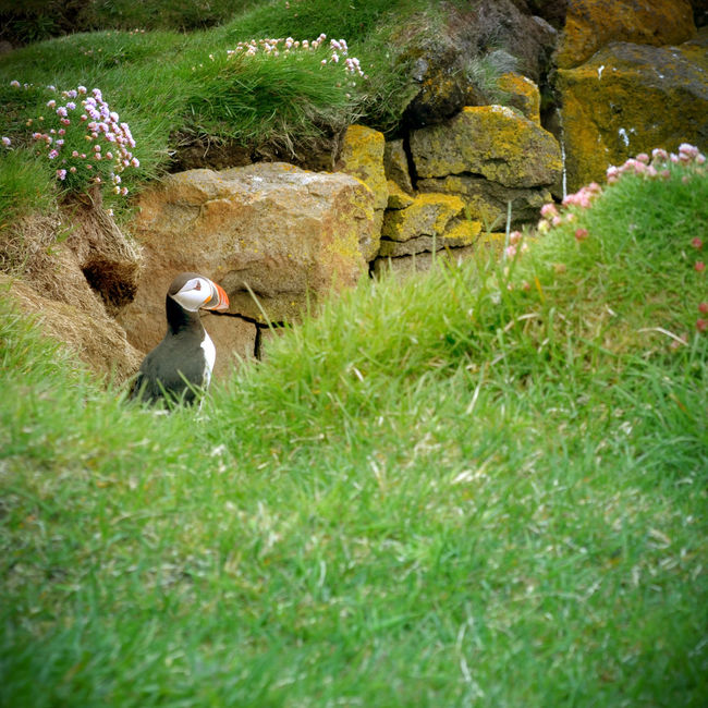 Adventure Bird Birdwatching Buddy Green Iceland Latrabjarg Magic Nature Outdoor Outside Puffin Roadtrip Traveling Trip Wanderlust Westernmost Europe Landscape Landscape_photography Nature Photography Landscapes With WhiteWall