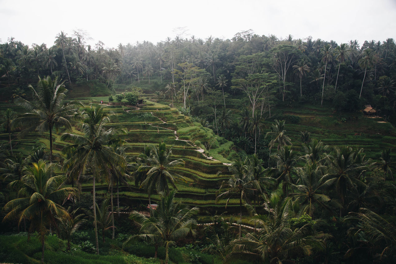 Agriculture Beauty In Nature Day Farm Field Forest Freshness Green Color Growth Landscape Lush Foliage Nature No People Outdoors Plant Rice - Cereal Plant Rice Paddy Rural Scene Scenics Sky Tea Crop Terraced Field Tranquil Scene Tranquility Tree