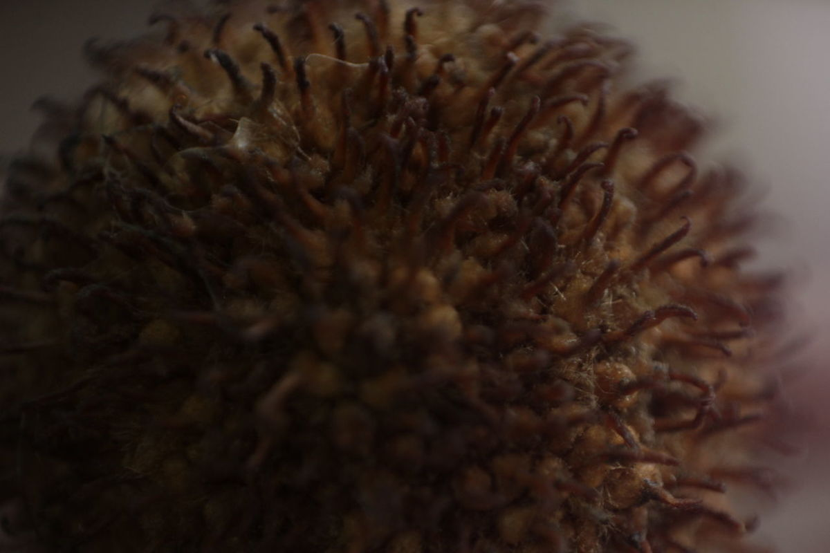 Brown Close-up Day Freshness Indoors  Nature No People Seed Selective Focus
