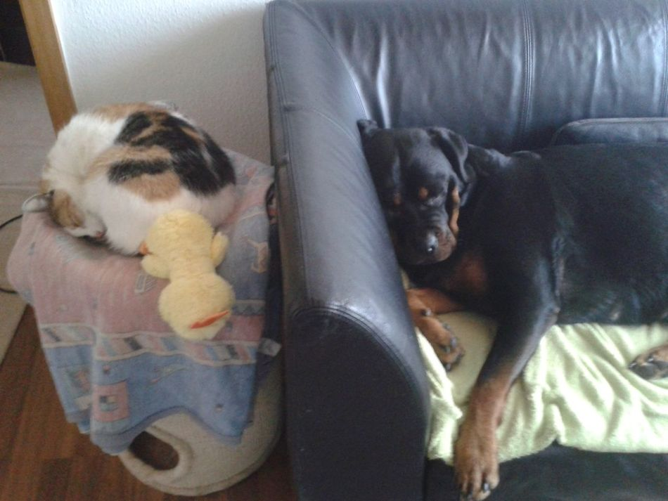 meine zwei Mädels.. Lilli Mit Freya Katze Und Hund Dog And Cat Napping Domestic Animals Cat And Dog Sleeping Faulebande @home ♡ Indoors  Enjoy The New Normal