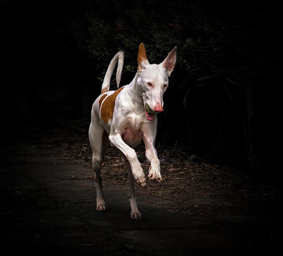 Beautiful Dog Dramatic Angles HOUNDS Ibizan Hound Plant Podenco Ibicenco