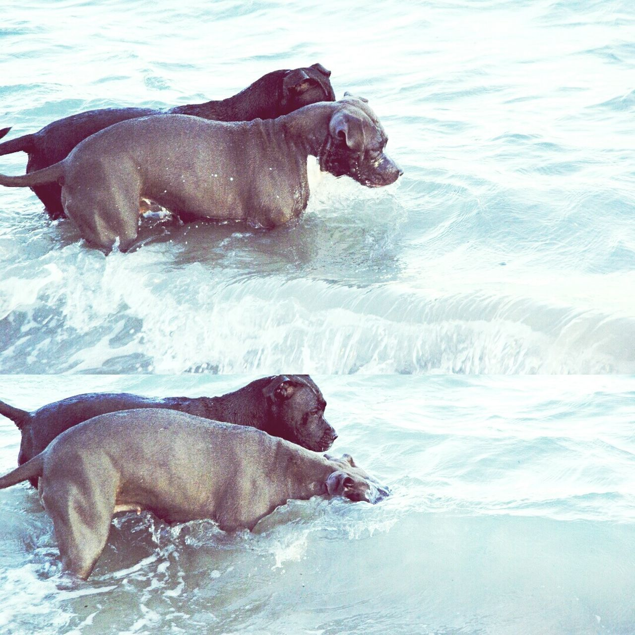 Los Pitbulls también bucean! Real People Pet Clothing Two Animals Tranquility Animal Themes Animal Beach Domestic Animals Pitbullsofficial Pitbullsofinstagram Dogmodels Canine Pitbullove Happiness Water Day Nature Pitbull One Animal Zoology Vacations Summer Surf Doggirl Girlfriend