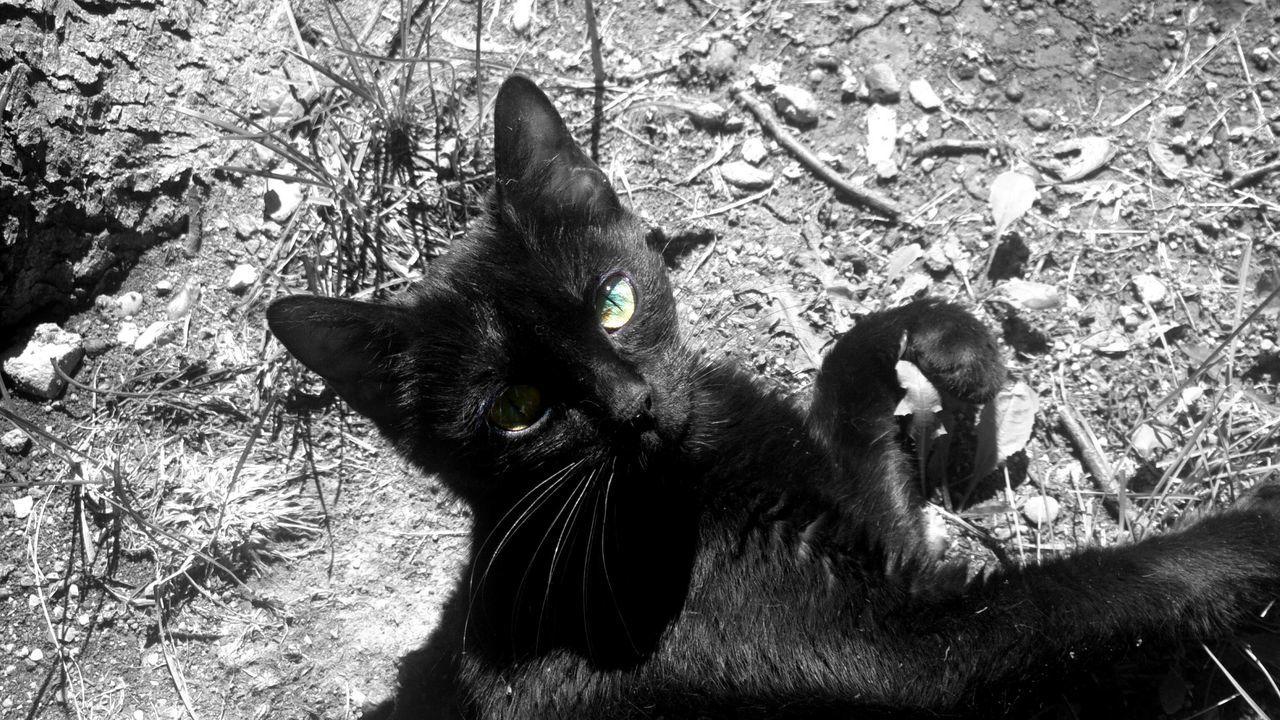 Animal Themes Black And White BLackCat Cat One Animal