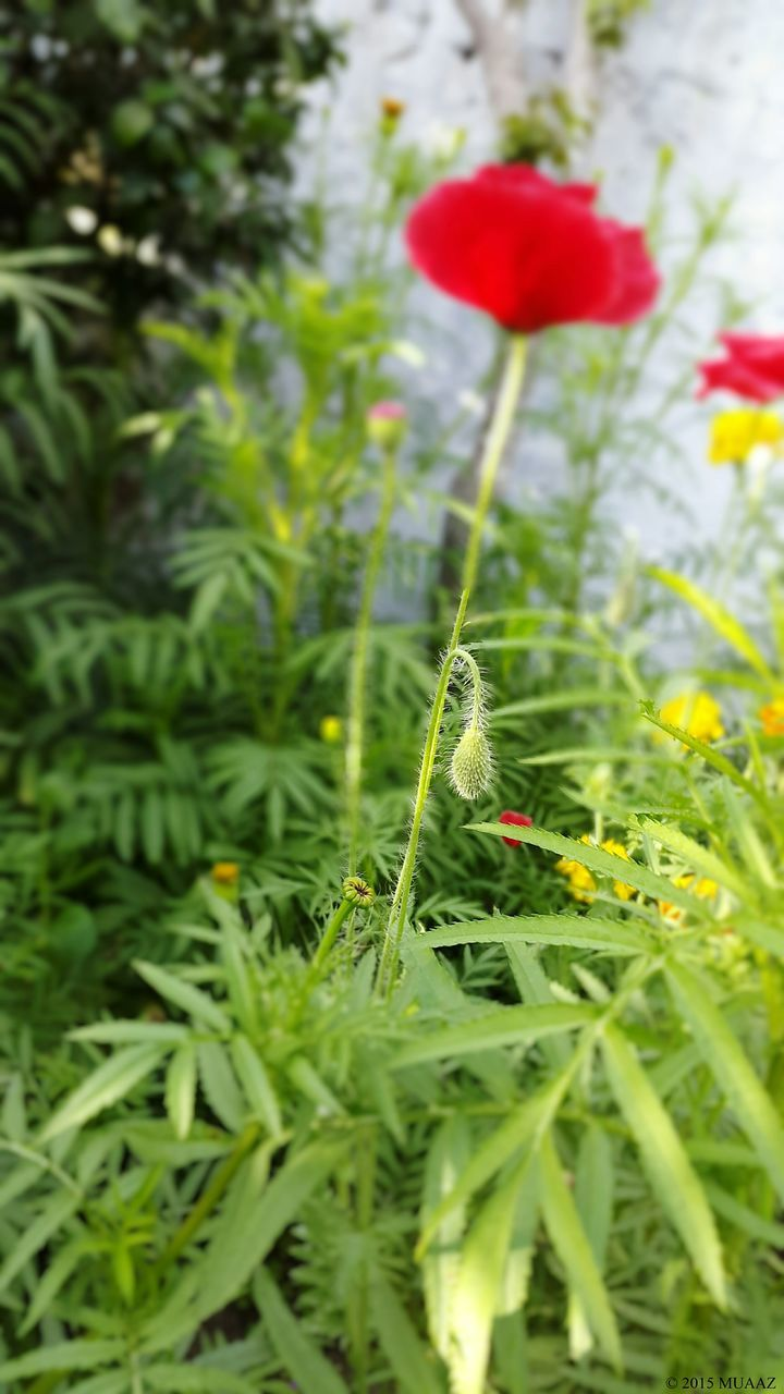nature, growth, green color, grass, red, beauty in nature, plant, no people, close-up, freshness, outdoors, fragility, day, poppy, flower
