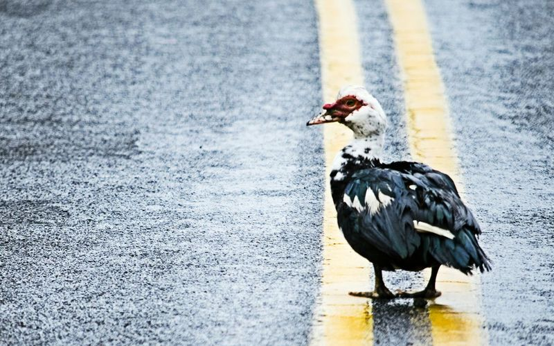 Muscovy Duck On The Road EyeEm Birds Check This Out Being Different Turkey Oregon Nature Photography Taking Photos Darryn Doyle Hidden Beauty Taking Pictures Ugly Duckling Hello World Hanging Out Exploring New Ground Duck Roadtrip Country Life Country Rd Country Living Walking Alone...